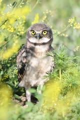 Cool Hideout (jrlarson67) Tags: burrowing owl raptor bird chick nikon d850 south dakota