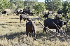 Herd of Cape (African) Buffalo in Moremi Game Reserve (davidparratt) Tags: capebuffalo africanbuffalo moremigamereserve botswana