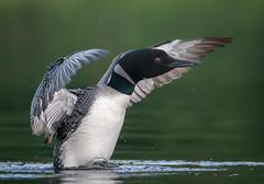 Post Grooming Flap (Mark Polson) Tags: common loon flap wings bird animal splash