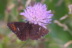 DSC_0023 (urmas ojango) Tags: lepidoptera liblikalised insecta insects putukad butterfly koerlibliklased nymphalidae hariliktõmmusilmik erebialigea arranbrown