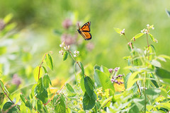 Whimsicle butterfly (Sue AWAY for a bit) Tags: monarchbutterfly flutteringamoungtheflowers ironbridgeontariocanada 30000views