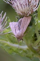 DSC_0304 (urmas ojango) Tags: harilikrohuöölane mythimnamythimnaimpura smokywainscot lepidoptera liblikalised insecta putukad insects moth öölased noctuidae