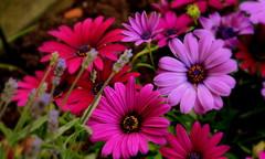 Friday Flower Power (sabine1955) Tags: blumen flower power friday blüten blossems natur freitag lila bunt lilac