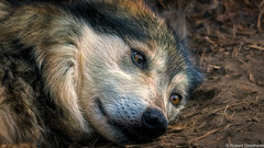 Siesta (Robert Streithorst) Tags: cincinnatizoo eyes face fur robertstreithorst wolf zoosofnorthamericamexican