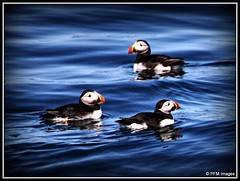 Puffins (pandt) Tags: puffin puffins audobon captainfish boothbayharbor wildlife nature water ocean sea birds cruise coast coastal outdoor blue black beak canon eos slr 6d easterneggrock island newengland tamron