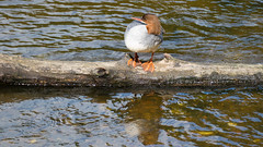 Lone goosander on Severn log (Dave_A_2007) Tags: mergusmerganser bird duck goosander nature wildlife bridgnorth shropshire england