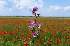 P1140410 (alainazer2) Tags: valensole provence france fiori fleurs flowers fields champs ciel cielo sky colori colors couleurs coquelicot poppy papavero