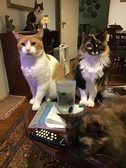 I'm being watched. (Philosopher Queen) Tags: cats kitties chats gatos watching staring spying willow kayla fizzy jade