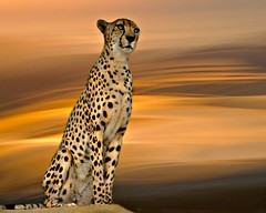 Out Of Africa (Christina's World : updated bio) Tags: image8366 cheetah sky nature naturepreserve textures goldenhour gold african 9160 fur animal largeanimal cat spots fast runner topclass platinumphotography exhibitionoftalent oe coth5