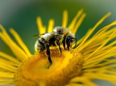 Eine Hummel (Andi Fritzsch) Tags: hummel bumblebee insekt insekten insect insectphotography flower flowers flowerphotography natur nature naturephotography makro macro macrophotography closeup closeupphotography nikon nikond5100 sigma sigma105mm