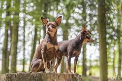 Nestor & Ooligan en Bokeh (Philippe Bélaz) Tags: nestor ooligan pragois ratierdeprague animaux animauxdecompagnie bokeh brun chiens chocolat forêts vert