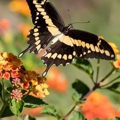 Giant Swallotail (explored) (mnag62) Tags: giantswallotailbutterfly butterfly saraswati butterflyinflight bif canon canon5dmkiv canon100400mmmkii canon14xmkiii laarboretum nature summer