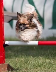 Agile Papillon (kimbenson45) Tags: continentaltoyspaniel countryfilelive2019 action agilitycourse animal brown dog furry jump jumping motion movement outdoors papillon pet spaniel