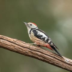 Middle Spotted Woodpecker! (Jambo53 ()) Tags: dendrocopusmedius middelstebontespecht middlespottedwoodpecker mittelspecht crobertkok nikond800