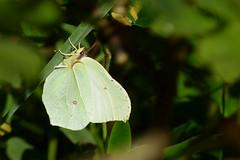 Citronfjäril (evisdotter) Tags: citronfjäril brimstone butterfly fjäril lepidoptera gonepteryxrhamni insect macro bokeh nature light sooc