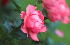 pink roses (Christine_S.) Tags: canon flower rose garden nature japan eos closeup m5 mirrorless floralphotography flowers ef100mmf28l coth5 mygarden pinkflowers rosebush