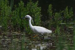 K32P7357aa LIttle Egret, Lackford Lakes, June 2019 (bobchappell55) Tags: lackfordlakes suffolk nature wild wildlife bird water littleegret egrettagarzetta