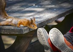 Curious squirrel at Skansen in Stockholm, Sweden. 12/5 2017. (photoola) Tags: stockholm skansen djur ekorre djurgården squirrel animal sweden photoola