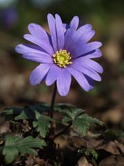 Anemone blanda (beaconschris5050) Tags: