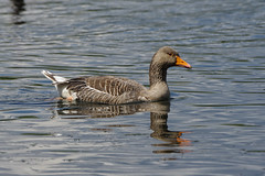 K32P8244c Greylag, Lackford Lakes, June 2019 (bobchappell55) Tags: lackfordlakes suffolk nature wild wildlife bird water greylag goose anseranser