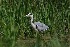 K32P7315c Grey Heron, Lackford Lakes, June 2019 (bobchappell55) Tags: lackfordlakes suffolk nature wild wildlife bird water greyheron ardeacinerea