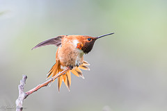 Rufous Hummingbird (Linda Martin Photography) Tags: deceptionpassstatepark usa anacortes washington rufoushummingbird bird selasphorusrufus male nature us bowmanbay coth coth5 naturethroughthelens ngc npc