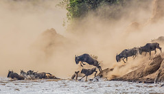 Of dust and the river (frankmetcalf) Tags: wildebeest greatmigration kenya maasaimara marariver crossing herd entimcamp africa davidlloyd canon 500mm bravo abigfave