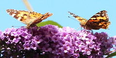 Painted Lady Butterflies (jdathebowler Thanks for 4 Million + views.) Tags: butterfly buddleiabush buddleia butterflybush lepidoptera insect