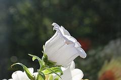 Canterbury Bell (abrideu) Tags: abrideu canoneos100d macro flowers canterburybell campanula white depthoffield bright bokeh bouquet ngc npc