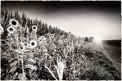 Sunflower Desorientation... (old style) (Ody on the mount) Tags: blumen canon filmkorn g7xii natur naturfotografie powershot rahmen sonnenuntergang weg bw blackandwhite flowers frame grain monochrome nature sw schwarzweis sepia sunflowers sunset way
