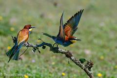 avejaruco (barragan1941) Tags: aves avesenvuelo pajaros birds