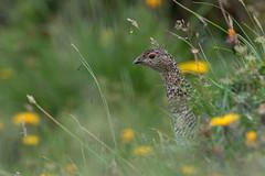 Alpenschneehuhn (wsprecher) Tags: alpenschneehuhn alpen rauhfusshühner rheintal hühnervögel wildlife vögel