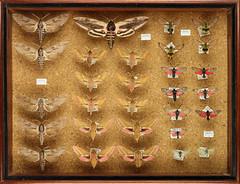 Coll. Rolf Sievert, Lepidoptera 18 (Biological Museum, Lund University: Entomology) Tags: lepidoptera sphingidae zygaenidae