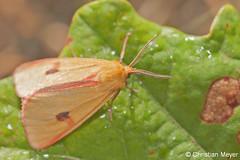 2013.08.23 - 8051 - Ecaille roussette Séné © (chmeyer51) Tags: insecte papillon ecailleroussette bordureensanglantée lépidoptère arctiidae arctiinae diacrisiasannio