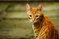 _IMG8584-2 (angel.doychinov) Tags: cat animal pentax k1 smc 135mm smcpa135mmf28