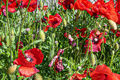 Poppies (Leaning Ladder) Tags: vieste italy italia puglia apulia poppies flowers red canon 7d mkii leaning ladder leaningladder 7dmkii