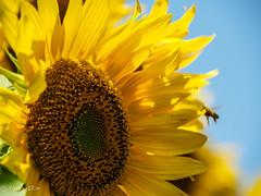 2019 Sunflower #2 (Yorkey&Rin) Tags: summer macro japan july bluesky olympus bee sunflower rin 2019 sunflowerfestival p7300054 em5markii olympusm14150mmf4056ii hokutocityakeno 夏 yamanashi 向日葵 七月 青空 sunflowerfield 山梨県 北杜市 明野 ひまわりまつり ミツバチ