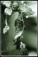 Dead Sweet Pea Flowers (Alex . Wendes) Tags: deadflowers macro greentone tamron90mm tamron90mmmacro d7000 nikond7000 sweetpea