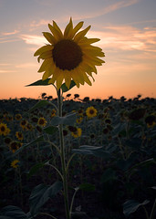 Sun For You (MANUELup) Tags: cantabria flowers sunset summer sky orange cloud flower nature yellow vertical outdoors spain sundown happiness naturallight nopeople petal sunflower agriculture plant closeup day ruralscene