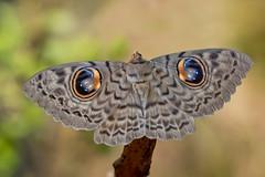 Erebus macrops - the Owl Moth (BugsAlive) Tags: moth polilla mot kupukupu papillondenuit มอด motte 蛾 falena animal outdoor insects insect lepidoptera macro nature erebidae erebusmacrops owlmoth erebinae wildlife doisutheppuinp ดอยสุเทพ chiangmai เชียงใหม่ liveinsects thailand thailandmoths nikon105mm bugsalive
