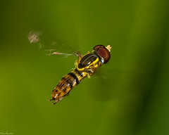 Doing what he does best (Fred Roe) Tags: nikond810 nikonafsmicronikkor105mmf28 nature naturephotography national wildlife wildlifephotography animals insect fly hoverfly easterncalligrapher toxomerusgeminatus colors outside flickr macro peacevalleypark