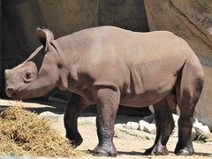 Chicago, Lincoln Park Zoo, As-Yet-to-Be-Named Baby Rhinocerous (Mary Warren 14.0+ Million Views) Tags: chicago lincolnparkzoo nature fauna animal mammal baby gray rhinocerous