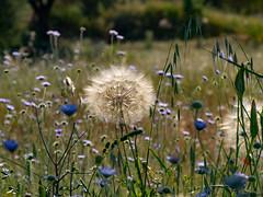Dandelion - A weed or a flower? ..explored.. (fotogake) Tags: fokida decentralizedadministrationof griechenland meadowsandfields smileonsaturday dandelion löwenzahn pusteblume