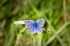 Common Blue (m) (~ **Barbara ** ~) Tags: butterfly commonblue small wildlife summerleys blue grass stem balancinginthewind macro canon7dii