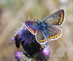 Brown Argus (~ **Barbara ** ~) Tags: butterfly brownargus small summerleys sunshine sunny macro countryside canon7dii