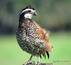 Northern Bobwhite Quail (Gary Helm) Tags: wildlife nature outside outdoor bird birds fly flight feathers image photography quail northernbobwhite ghelm4747 helm garyhelm post perch road joeoverstreetroad florida osceolacounty coveys male animal