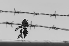 52-30: Barbed (315Edith) Tags: canon 55250mm 52weekphotoproject bw blackandwhite barbedwire serratedleaves whorl lines plant fence sky