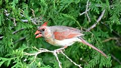 BIRD DAY AFTERNOON, FEMALE CARDINAL, ACA PHOTO (alexanderrmarkovic) Tags: birddayafternoon acaphoto femalecardinal cardinal bird
