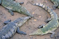 Cocodrilos under the bridge (Rob Schleiffert) Tags: costarica crocodile tarcoles cocodrilo