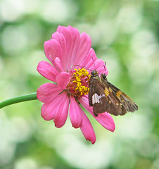 Silver-spotted skippers in pink (Vicki's Nature) Tags: silverspottedskipper two butterflies chubby brown spots pink zinnia blossom flower bokeh yard georgia vickisnature canon s5 9012 july butterfly
